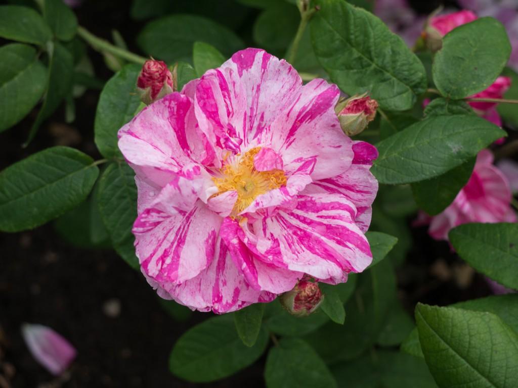 Rosa Mundi 1